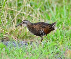 Virginia Rail, Marsh Trail, Chincoteague NWR, 06/27/2018, Seth Honig