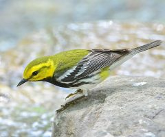 Black-throated Green Warbler, Mantua, Fairfax, Seth Honig