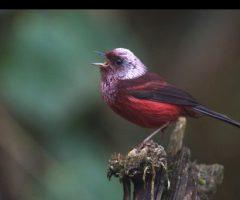 Pink Headed Warbler - John Cahill