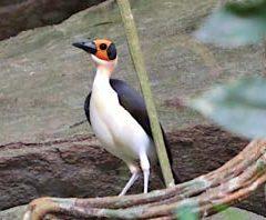 White-necked Rock Fowl