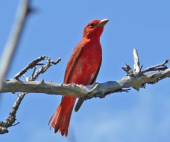 Summer Tanager  Dry Tortugas, FL, 4-19-11, Larry Meade