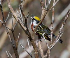 Chestnut-sided Warbler: Shenandoah National Park, 25 April 2019, Ron Frost