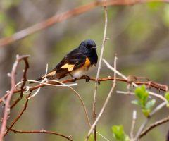 American Redstart: Shenandoah National Park, 25 April 2019, Ron Frost