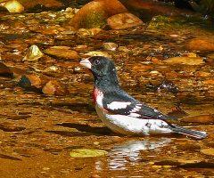 Rose-breasted Grosbeak  Monticello Park, Alexandria, VA, 5-2-19, Larry Meade