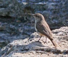 Rock Wren, Montezuma Well, AZ, 6-7-17, Larry Meade
