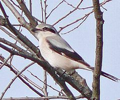 Northern Shrike  Sully Woodlands, Chantilly , VA, 10-31-16, Larry Meade